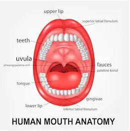 Ağız anatomisi
