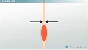 Peristalsis, ince bağırsaktan yiyecekleri iten bir dizi kas kasılmasıdır.