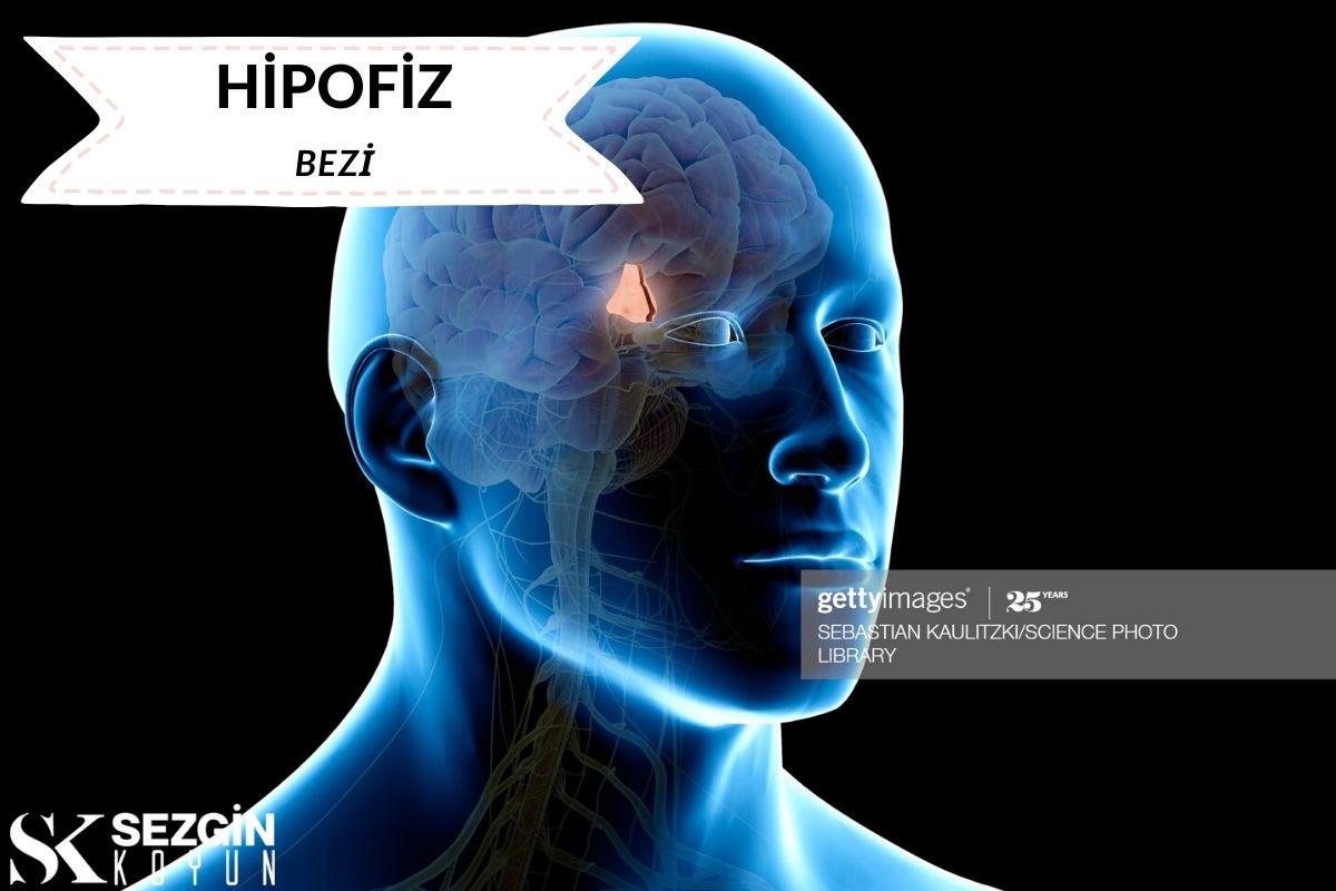 Hipofiz Bezi Nedir? - Fonksiyonlar ve Hipotalamus